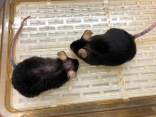 若返ることができる酵素注射 マウスで実験成功